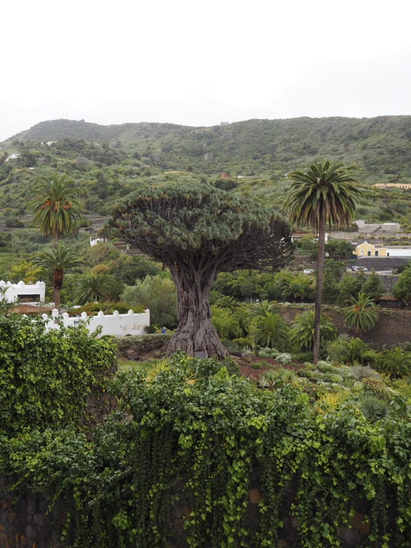 dragon tree tenerife drago