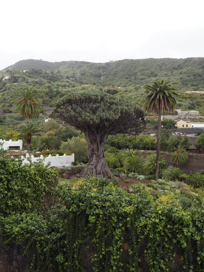 dragon tree tenerife drago