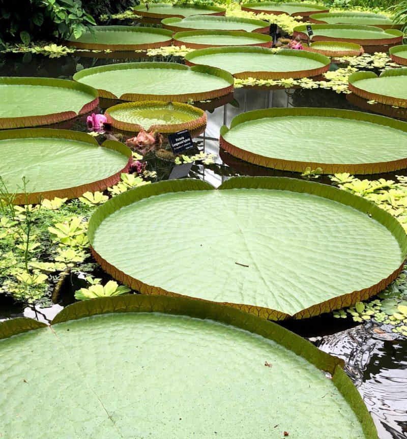 edinburgh lily pads botanic gardens